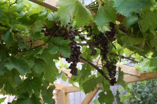 Vigne et raisins